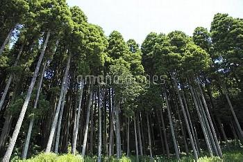 スギ(植林) [japonica,Cedar,Cryptomeria,Japanese]