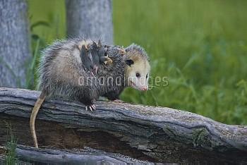 キタオポッサムの親子 親の背にしがみつく子 [Common,Opossom,Didelphis,virginiana]