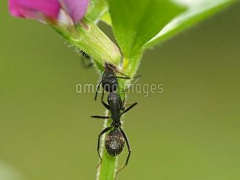 カラスノエンドウの花外蜜腺から蜜を舐めるクロオオアリ [japonicus,Camponotus,BLACK,Ant,Carpenter,_s]