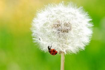 タンポポの冠毛とナナホシテントウ [Coccinella,septempunctata,Seven-spotted,Beetle]