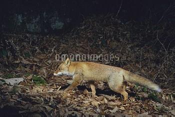 夜間、落ち葉を踏み歩くホンドギツネ [japonica,Red,fox,Vulpes]