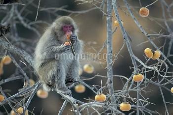 カキの実を食べるニホンザル [fuscata,Macaca,macaque,Monkey,Japanese]