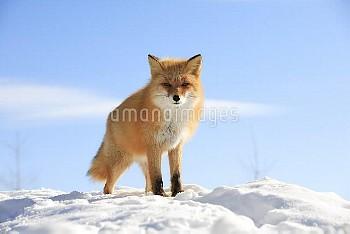 雪の上にたたずむキタキツネ [Red,fox,schrencki,VulpesHokkaido]