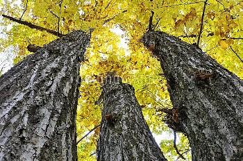 黄葉したミズナラ [oak,crispula,Japanes, Quercus]