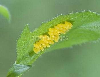 ナナホシテントウ 卵 [Coccinella,septempunctata,Lady,Seven-spotted,Beetle,Ladybug]
