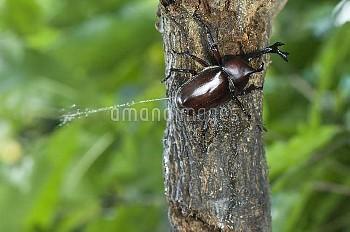 おしっこをするカブトムシのオス [horned,rhinoceros,dichotomus,Trypoxylus,Japanese,Beetle]