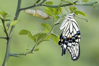 アゲハ(ナミアゲハ)の羽化連続:7/7 [Butterfly,Swallowtail,Yellow,xuthus,papilio,Chinese]