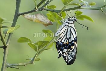 アゲハ(ナミアゲハ)の羽化連続:6/7 [Butterfly,Swallowtail,Yellow,xuthus,papilio,Chinese]