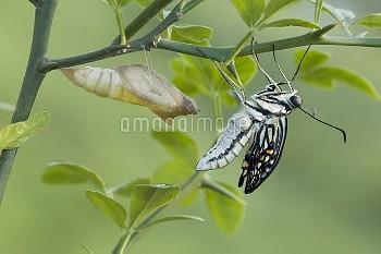 アゲハ(ナミアゲハ)の羽化連続:5/7 [Butterfly,Swallowtail,Yellow,xuthus,papilio,Chinese]