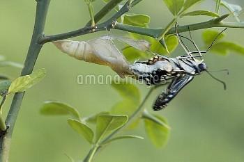 アゲハ(ナミアゲハ)の羽化連続:4/7 [Butterfly,Swallowtail,Yellow,xuthus,papilio,Chinese]