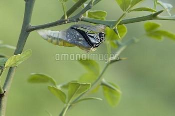 アゲハ(ナミアゲハ)の羽化連続:2/7 [Butterfly,Swallowtail,Yellow,xuthus,papilio,Chinese]