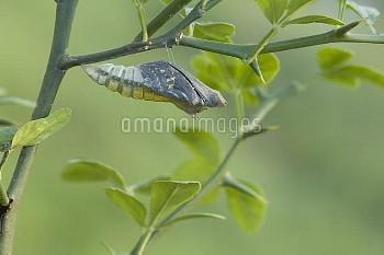 アゲハ(ナミアゲハ)の羽化連続:1/7 [Butterfly,Swallowtail,Yellow,xuthus,papilio,Chinese]