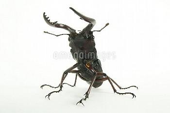 ノコギリクワガタ 白バック [inclinatus,Prosopocoilus,Beetle,Stag,Saw,Prosopocoilus_inclinatus_inclinatus]