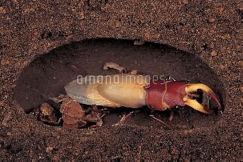 ノコギリクワガタのオスの羽化連続 6/7 [inclinatus,Prosopocoilus,Beetle,Stag,Saw,Prosopocoilus_inclinatus_inclinatus]