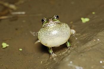 鳴くニホンアマガエル(アマガエル) [japonica,Frog,Tree,Japanese,Hyla]