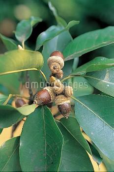 アカガシの実(ドングリ) [acuta,Quercus]
