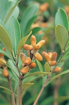 マテバシイの実(ドングリ) [edulis,Lithocarpus]