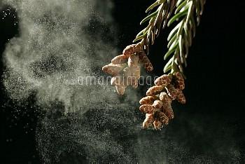 スギの雄花から花粉が飛散する瞬間 [japonica,Cryptomeria]