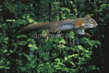 木々の間をジャンプして移動するアメリカアカリス [hudsonicus,Red,Tamiasciurus,Squirrel]