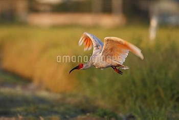 トキ 飛翔 [Crested,Nipponia,Japanese,nippon,ibis]