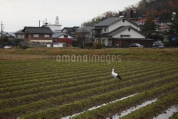 コウノトリ 畑で採餌 [Ciconia,Japanese,white,boyciana,Oriental,Stork]