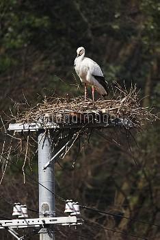 コウノトリ 巣の上で休息 [Ciconia,Japanese,white,boyciana,Oriental,Stork]