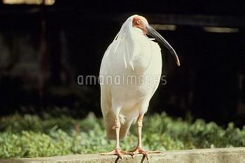 トキのメス(キン) 撮影当時28才 日本のトキ、最後の生き残り [Crested,Nipponia,Japanese,nippon,ibis]