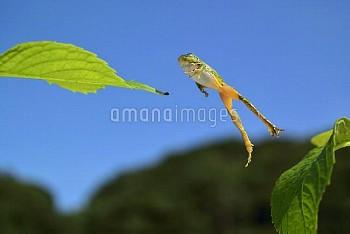 ニホンアマガエル [japonica,Frog,Tree,Japanese,Hyla]
