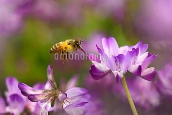 セイヨウミツバチ [mellifera,Apis,honeybee]