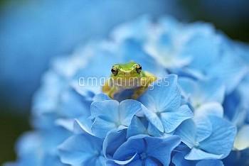 ニホンアマガエルとアジサイのイメージ [japonica,Frog,Tree,Japanese,Hyla]