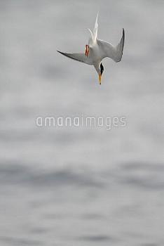 コアジサシの成鳥 ダイビング 夏羽 [Sterna,albifrons,little,tern]