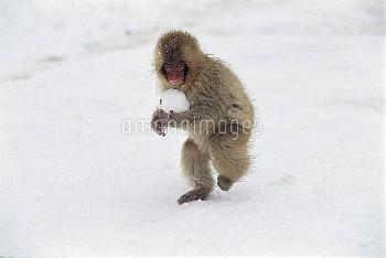 雪玉で遊ぶニホンザルの子 [fuscata,Macaca,macaque,Monkey,Japanese]