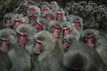 冷え込んだ夕方、寒さから身を守るためにかたまるニホンザル [fuscata,Macaca,macaque,Monkey]