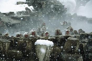 雪の日に温泉に入るニホンザルの群れ [fuscata,Macaca,macaque,Monkey]