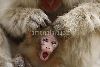 母親に毛繕いされるニホンザルの赤ちゃん [fuscata,Macaca,macaque]