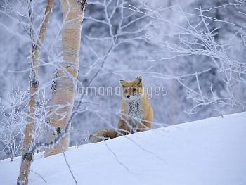 雪上にたたずむキタキツネ(冬毛) [Red,schrencki,Vulpes]