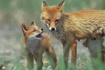 キタキツネの親子 [Red,fox,schrencki,Vulpes,Hokkaido]