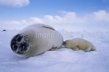 タテゴトアザラシの親子 授乳 [groenlandica,Phoca,Seal,Harp]