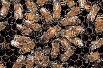 ミツバチ(セイヨウミツバチ) ロイヤルコート [mellifera,Apis,honeybee]