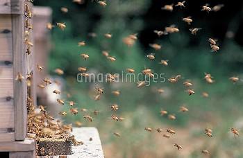 ミツバチ(セイヨウミツバチ) 記憶飛行 [mellifera,Apis,honeybee]