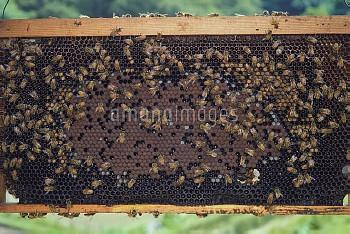 巣に群れるミツバチ(セイヨウミツバチ) [mellifera,Apis,honeybee]