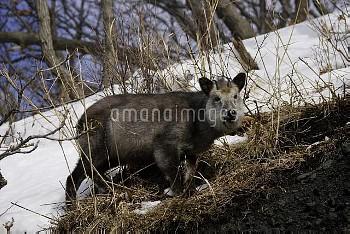 ニホンカモシカ 雪の斜面 食べる [Serow,Capricornis,Japanese,crispus]