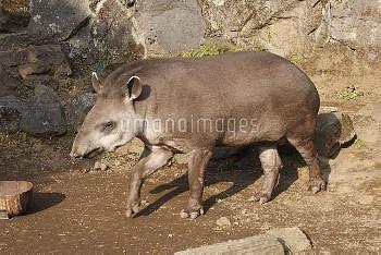 アメリカバク 歩く [South,Tapirus,American,terrestris,tapir,Brazillian]
