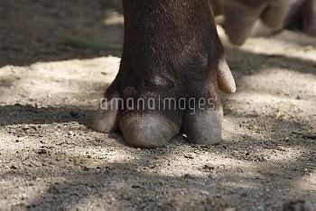 アメリカバクのひずめ 前足 [South,Tapirus,American,terrestris,tapir,Brazillian]