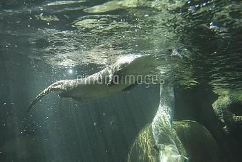 ユーラシアカワウソ 餌探し [Common,Eurasian,European,Lutra,Otter]