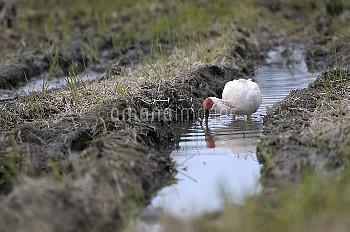 水田で餌を探しているトキ メスNo.4 [Crested,Nipponia,nippon]