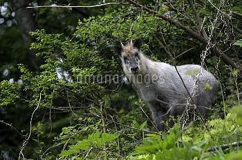 近くで警戒するニホンカモシカ [Serow,Capricornis,Japanese,crispus]