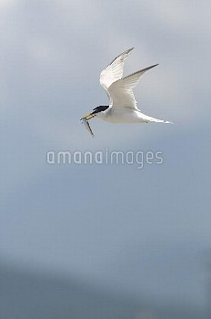 魚を運ぶコアジサシ [Sterna,albifrons,little,tern]