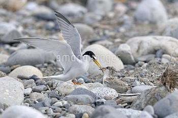 雛に魚を与えるコアジサシ [Sterna,albifrons,little,tern]
