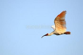 夕日に照らされ翼を上げて飛ぶトキ [Crested,Nipponia,Japanese,nippon,ibis]